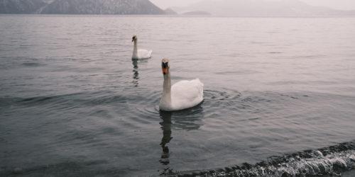 日々、湖、白鳥